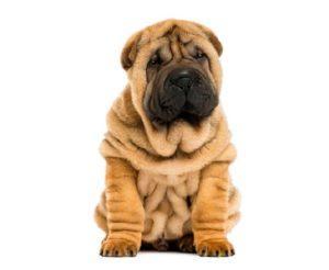 hond shar-pei